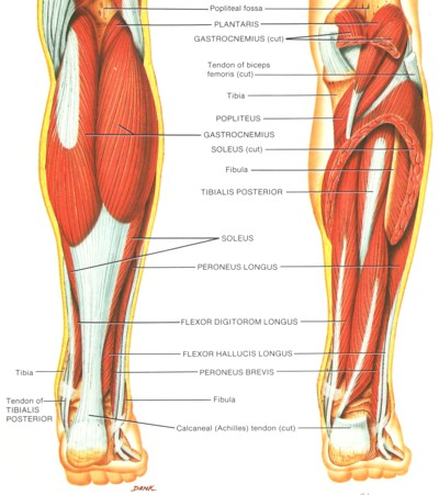 pictures of the calf muscles